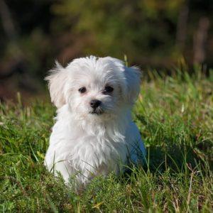pet-psychic-dog-young-dog-small-dog-maltese
